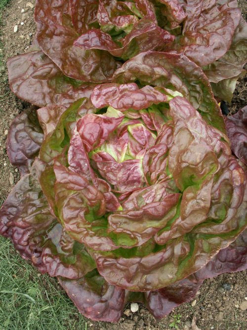 Four seasons | Head lettuce