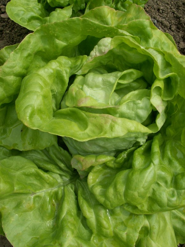 King of May | Head lettuce