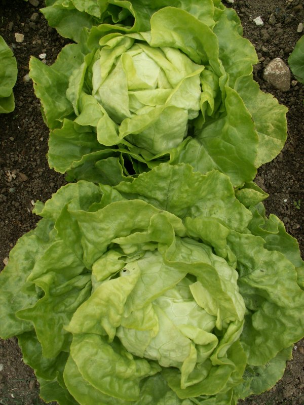 Winterwonder | Head lettuce