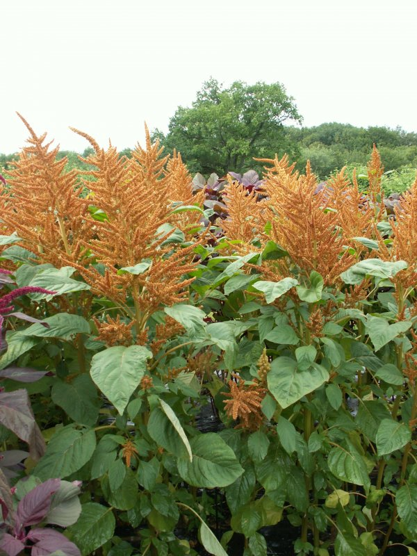 Golden Giant | Amaranth / Fuchsschwanz